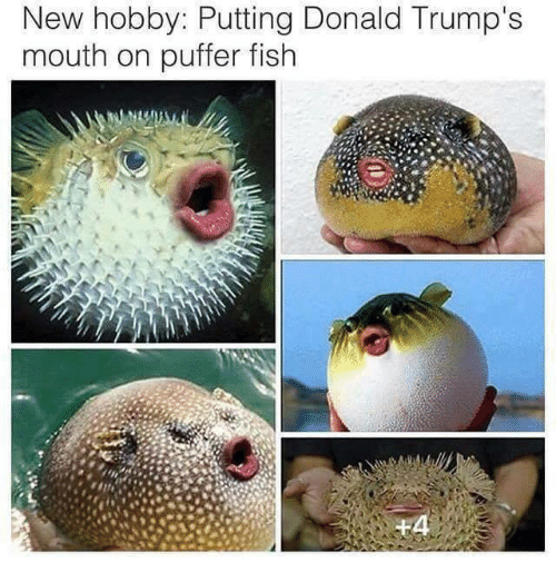 Puffer: New hobby: Putting Donald Trump's  mouth on puffer fish