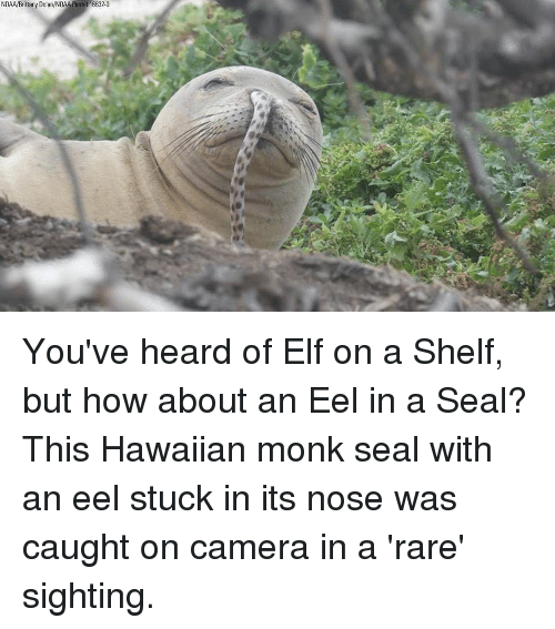 Hawaiian: NOAA/Brittany Dolan/NOAA Permit 16632-0 You've heard of Elf on a Shelf, but how about an Eel in a Seal? This Hawaiian monk seal with an eel stuck in its nose was caught on camera in a 'rare' sighting.