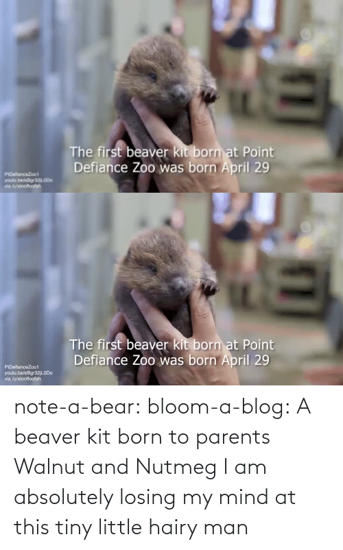 absolutely: note-a-bear: bloom-a-blog:  A beaver kit born to parents Walnut and Nutmeg   I am absolutely losing my mind at this tiny little hairy man