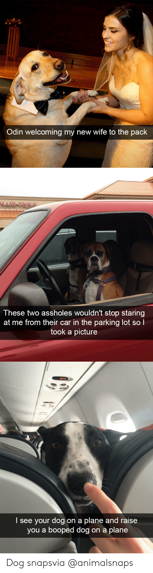 Staring At Me: Odin welcoming my new wife to the pack   These two assholes wouldn't stop staring  at me from their car in the parking lot sol  took a picture   I see your dog on a plane and raise  you a booped dog on a plane Dog snapsvia @animalsnaps
