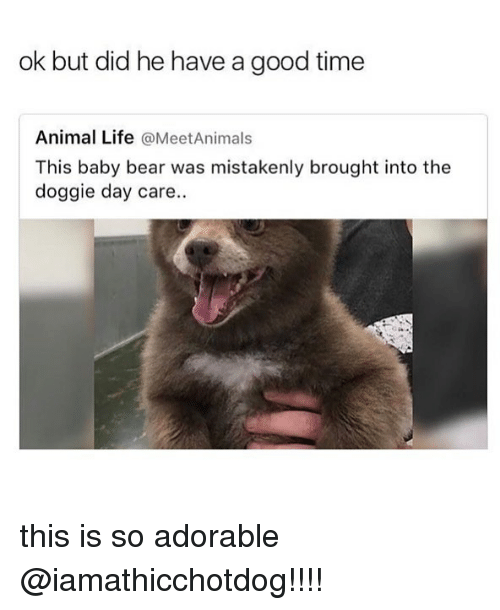 baby bear: ok but did he have a good time  Animal Life @MeetAnimals  This baby bear was mistakenly brought into the  doggie day care. this is so adorable @iamathicchotdog!!!!