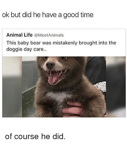 baby bear: ok but did he have a good time  Animal Life @MeetAnimals  This baby bear was mistakenly brought into the  doggie day care. of course he did.