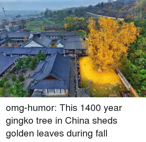 sheds: omg-humor:  This 1400 year gingko tree in China sheds golden leaves during fall