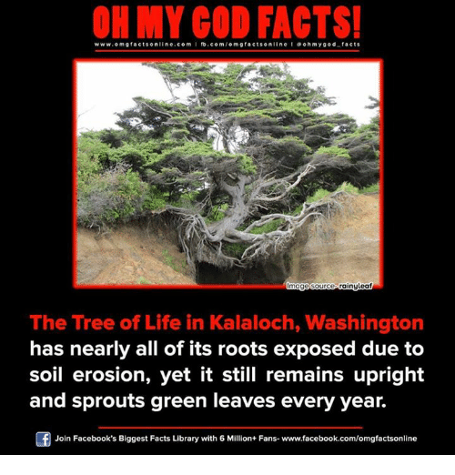 Exposion: ON MY GOD FACTS!  www.om facts online.com I fb.com  g facts on  line a ohm god facts  mage Source Gainyleaf  The Tree of Life in Kalaloch, Washington  has nearly all of its roots exposed due to  soil erosion, yet it still remains upright  and sprouts green leaves every year.  Join Facebook's Biggest Facts Library with 6 Million+ Fans- www.facebook.com/omgfactsonline