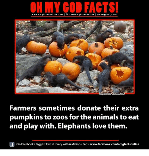 Animals, Facebook, and Facts: ON MY GOD FACTS!  www.omg facts online.com I fb.com/om g facts online leoh my god facts  Answers com  mage ours  Farmers sometimes donate their extra  pumpkins to zoos for the animals to eat  and play with. Elephants love them.  Join Facebook's Biggest Facts Library with 6 Million+ Fans- www.facebook.com/omgfactsonline