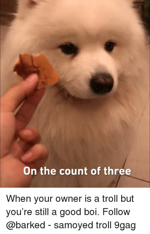 9gag, Memes, and Troll: On the count of three When your owner is a troll but you're still a good boi. Follow @barked - samoyed troll 9gag