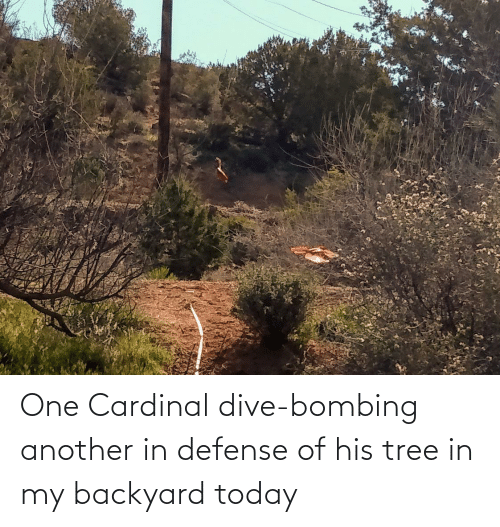 Of His: One Cardinal dive-bombing another in defense of his tree in my backyard today