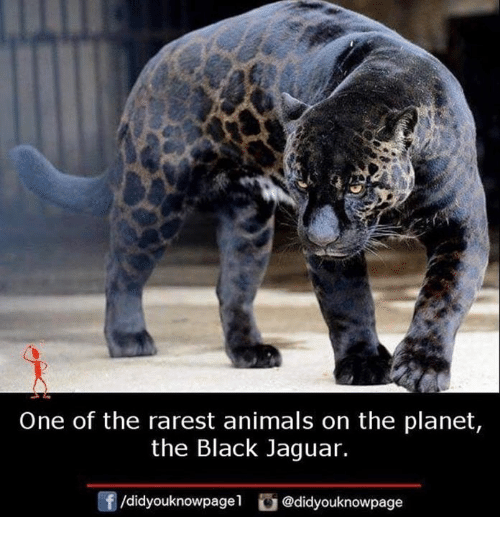 Animals, Memes, and Black: One of the rarest animals on the planet  the Black Jaguar.  f/didyouknowpagel@didyouknowpage