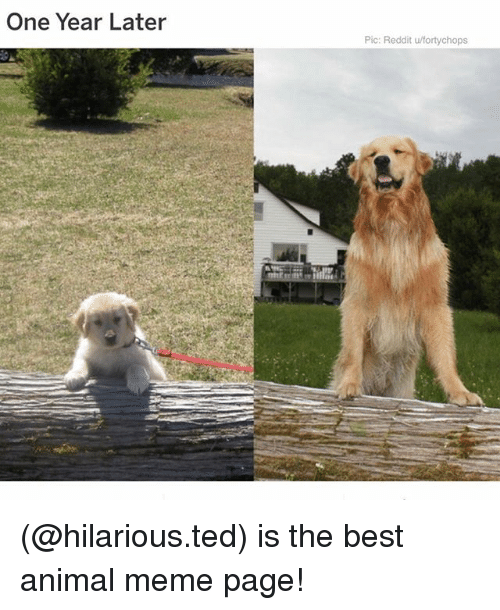 Meme, Memes, and Reddit: One Year Later  Pic: Reddit u/fortychops (@hilarious.ted) is the best animal meme page!