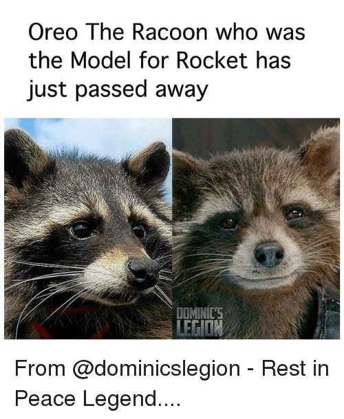 oreo: Oreo The Racoon who was  the Model for Rocket has  just passed away  DOMINIC'S From @dominicslegion - Rest in Peace Legend....