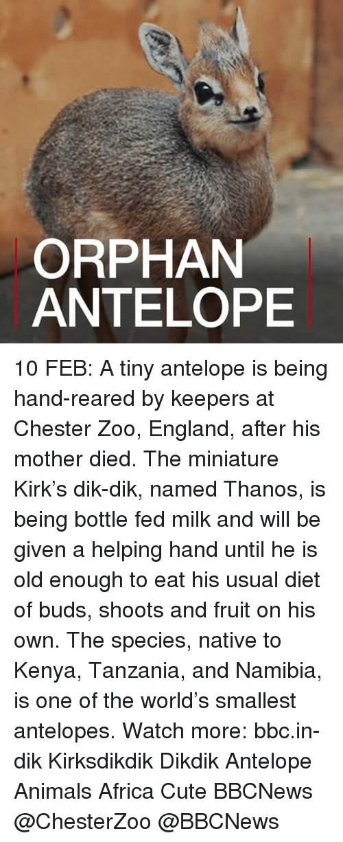 tanzania: ORPHAN  ANTELOPE 10 FEB: A tiny antelope is being hand-reared by keepers at Chester Zoo, England, after his mother died. The miniature Kirk's dik-dik, named Thanos, is being bottle fed milk and will be given a helping hand until he is old enough to eat his usual diet of buds, shoots and fruit on his own. The species, native to Kenya, Tanzania, and Namibia, is one of the world's smallest antelopes. Watch more: bbc.in-dik Kirksdikdik Dikdik Antelope Animals Africa Cute BBCNews @ChesterZoo @BBCNews