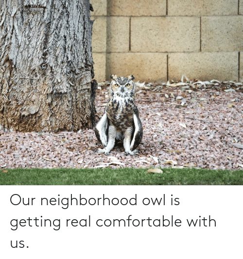 comfortable: Our neighborhood owl is getting real comfortable with us.