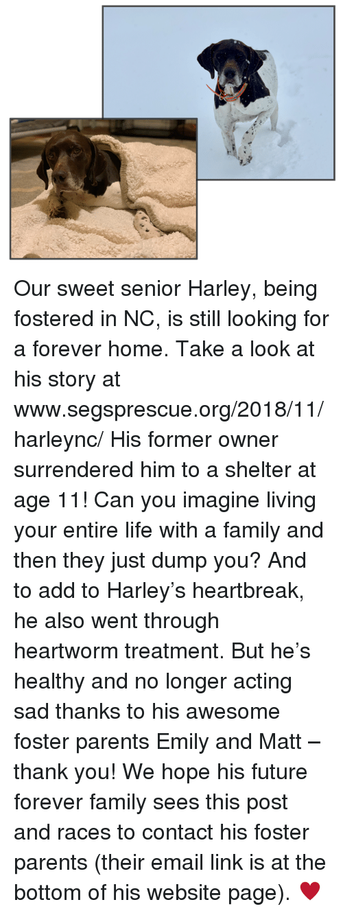 Family, Future, and Life: Our sweet senior Harley, being fostered in NC, is still looking for a forever home.  Take a look at his story at www.segsprescue.org/2018/11/harleync/     His former owner surrendered him to a shelter at age 11!  Can you imagine living your entire life with a family and then they just dump you?  And to add to Harley's heartbreak, he also went through heartworm treatment. But he's healthy and no longer acting sad thanks to his awesome foster parents Emily and Matt – thank you!    We hope his future forever family sees this post and races to contact his foster parents (their email link is at the bottom of his website page).  ♥️