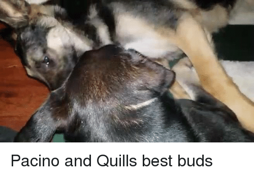 Memes, Best, and 🤖: Pacino and Quills best buds