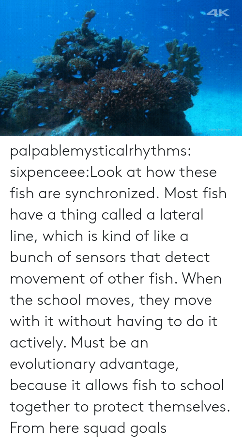 lateral: palpablemysticalrhythms:  sixpenceee:Look at how these fish are synchronized.Most fish have a thing called a lateral line, which is kind of like a bunch of sensors that detect movement of other fish. When the school moves, they move with it without having to do it actively. Must be an evolutionary advantage, because it allows fish to school together to protect themselves. From here squad goals