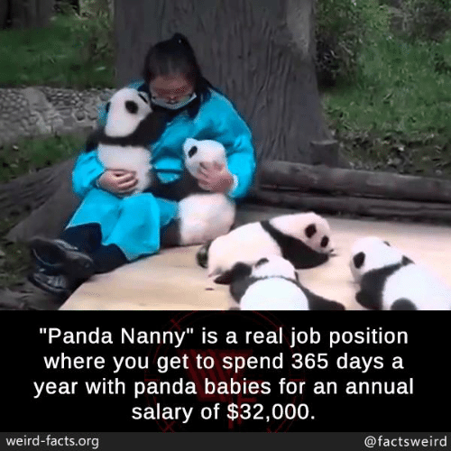 "Facts, Memes, and Weird: ""Panda Nanny"" is a real job position  where you get to spend 365 days a  year with panda babies for an annual  salary of $32,000.  weird-facts.org  @factsweird"