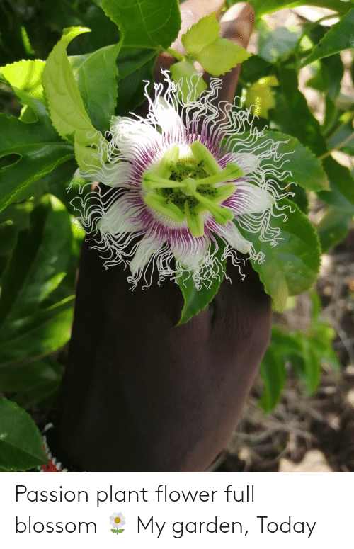 plant: Passion plant flower full blossom 🌼 My garden, Today