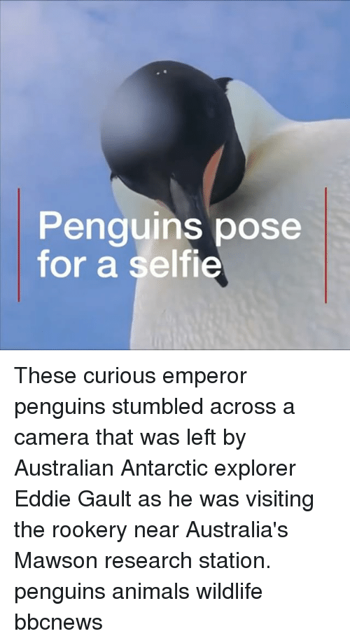Animals, Memes, and Selfie: Penguins pose  for a selfie These curious emperor penguins stumbled across a camera that was left by Australian Antarctic explorer Eddie Gault as he was visiting the rookery near Australia's Mawson research station. penguins animals wildlife bbcnews