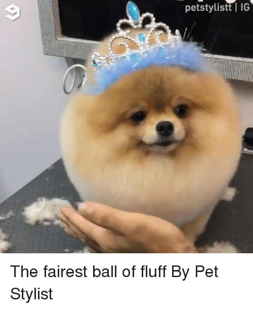 Dank, 🤖, and Pet: petstylisttl IG The fairest ball of fluff  By Pet Stylist