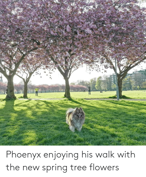 Flowers: Phoenyx enjoying his walk with the new spring tree flowers
