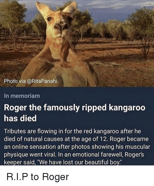 "Beautiful, Memes, and Roger: Photo via @RitaPanahi  In memoriam  Roger the famously ripped kangaroo  has died  Tributes are flowing in for the red kangaroo after he  died of natural causes at the age of 12. Roger became  an online sensation after photos showing his muscular  physique went viral. In an emotional farewell, Rogers  keeper said, ""We have lost our beautiful boy R.I.P to Roger"