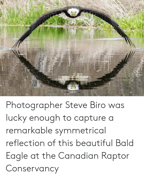 Beautiful, Eagle, and Canadian: Photographer Steve Biro was lucky enough to capture a remarkable symmetrical reflection of this beautiful Bald Eagle at the Canadian Raptor Conservancy