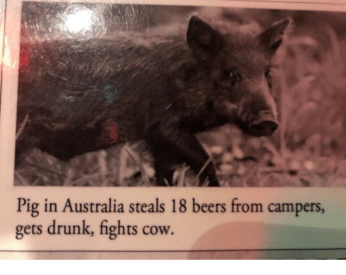 Drunk, Australia, and Cow: Pig in Australia steals 18 beers from campers  gets drunk, fights cow.