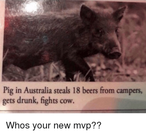 Drunk, Australia, and Cow: Pig in Australia steals 18 beers from campers  gets drunk, fights cow. Whos your new mvp??