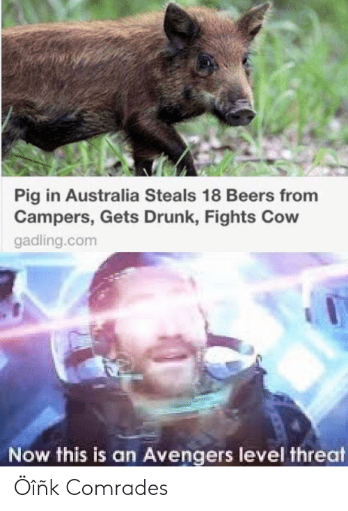 Drunk, Australia, and Avengers: Pig in Australia Steals 18 Beers from  Campers, Gets Drunk, Fights Cow  gadling.com  Now this is an Avengers level threat Öîñk Comrades