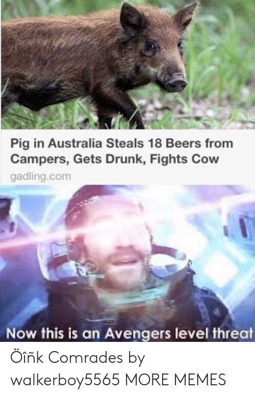 Dank, Drunk, and Memes: Pig in Australia Steals 18 Beers from  Campers, Gets Drunk, Fights Cow  gadling.com  Now this is an Avengers level threat Öîñk Comrades by walkerboy5565 MORE MEMES