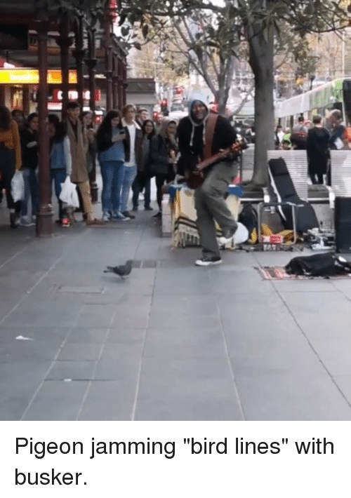 "jamming: Pigeon jamming ""bird lines"" with busker."