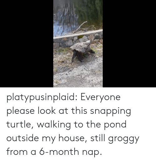My House, Target, and Tumblr: platypusinplaid: Everyone please look at this snapping turtle, walking to the pond outside my house, still groggy from a 6-month nap.