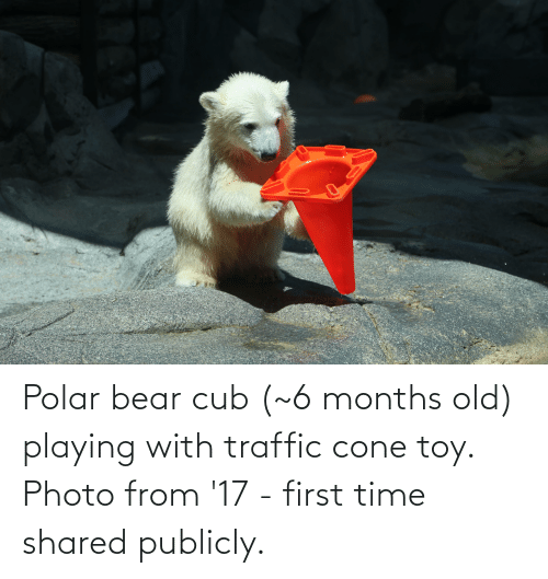 Traffic: Polar bear cub (~6 months old) playing with traffic cone toy. Photo from '17 - first time shared publicly.