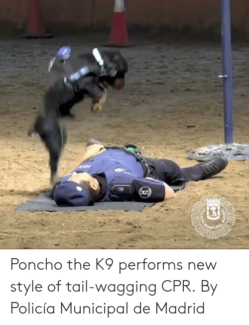 cpr: Poncho the K9 performs new style of tail-wagging CPR.  By Policía Municipal de Madrid