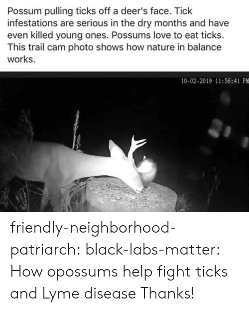 site: Possum pulling ticks off a deer's face. Tick  infestations are serious in the dry months and have  even killed young ones. Possums love to eat ticks.  This trail cam photo shows how nature in balance  works.  10-02-2019 11:56:41 PM friendly-neighborhood-patriarch: black-labs-matter:  How opossums help fight ticks and Lyme disease    Thanks!