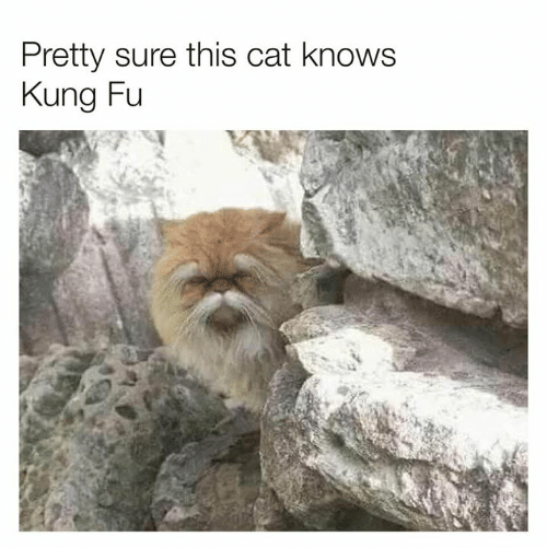 kung fu: Pretty sure this cat knows  Kung Fu