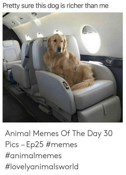 Memes, Animal, and Dog: Pretty sure this dog is richer than me Animal Memes Of The Day 30 Pics – Ep25 #memes #animalmemes #lovelyanimalsworld