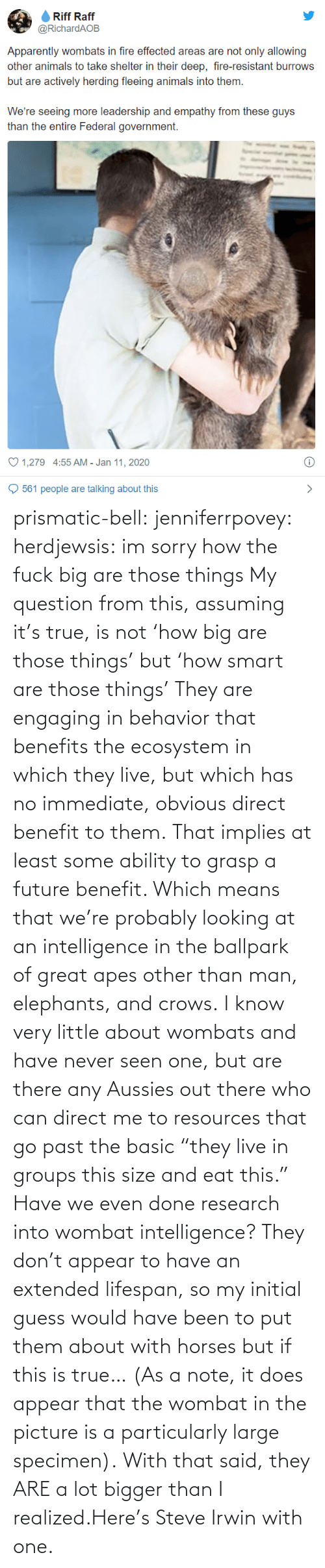 "Ability: prismatic-bell:  jenniferrpovey: herdjewsis: im sorry how the fuck big are those things My question from this, assuming it's true, is not 'how big are those things' but 'how smart are those things' They are engaging in behavior that benefits the ecosystem in which they live, but which has no immediate, obvious direct benefit to them. That implies at least some ability to grasp a future benefit. Which means that we're probably looking at an intelligence in the ballpark of great apes other than man, elephants, and crows. I know very little about wombats and have never seen one, but are there any Aussies out there who can direct me to resources that go past the basic ""they live in groups this size and eat this."" Have we even done research into wombat intelligence? They don't appear to have an extended lifespan, so my initial guess would have been to put them about with horses but if this is true… (As a note, it does appear that the wombat in the picture is a particularly large specimen).  With that said, they ARE a lot bigger than I realized.Here's Steve Irwin with one."