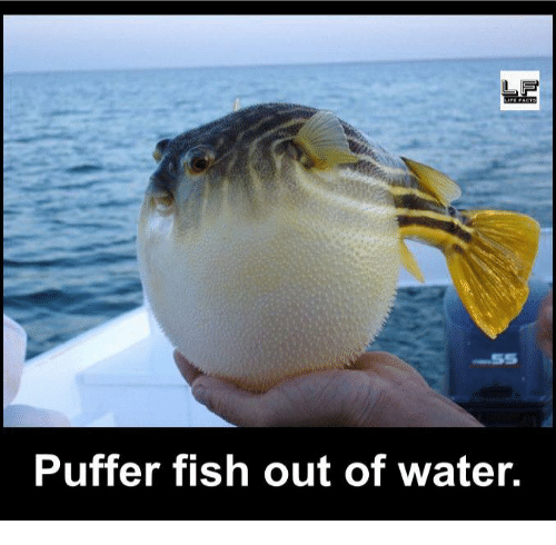 Puffer: Puffer fish out of water.