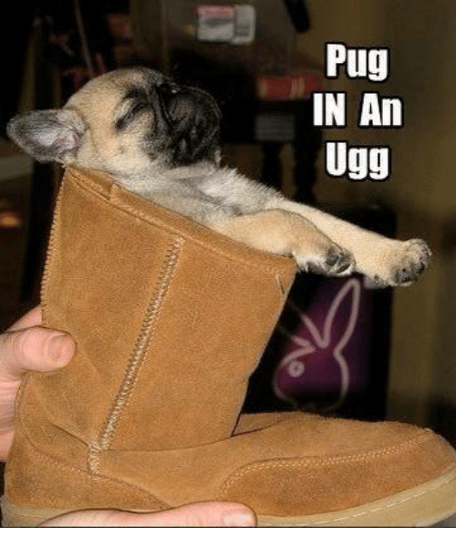 Memes, Ugg, and Uggs: Pug  IN An  Ugg