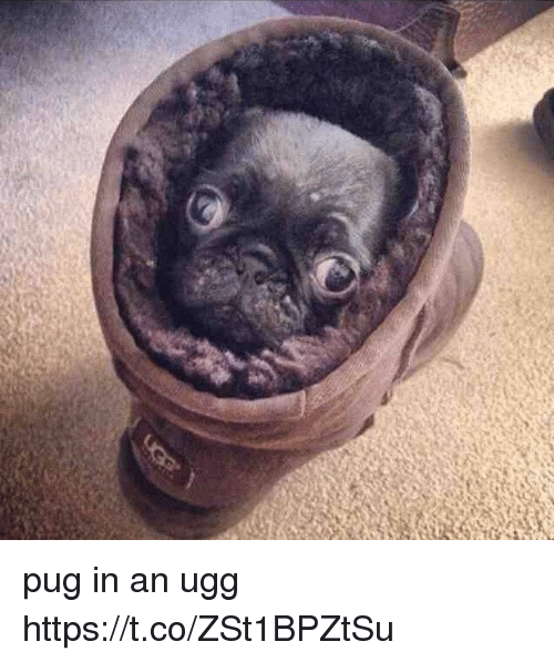 Uggly: pug in an ugg https://t.co/ZSt1BPZtSu