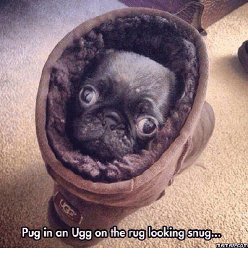 Pug In An Ugg: Pug in an Ugg on the rug looking snug  memes com