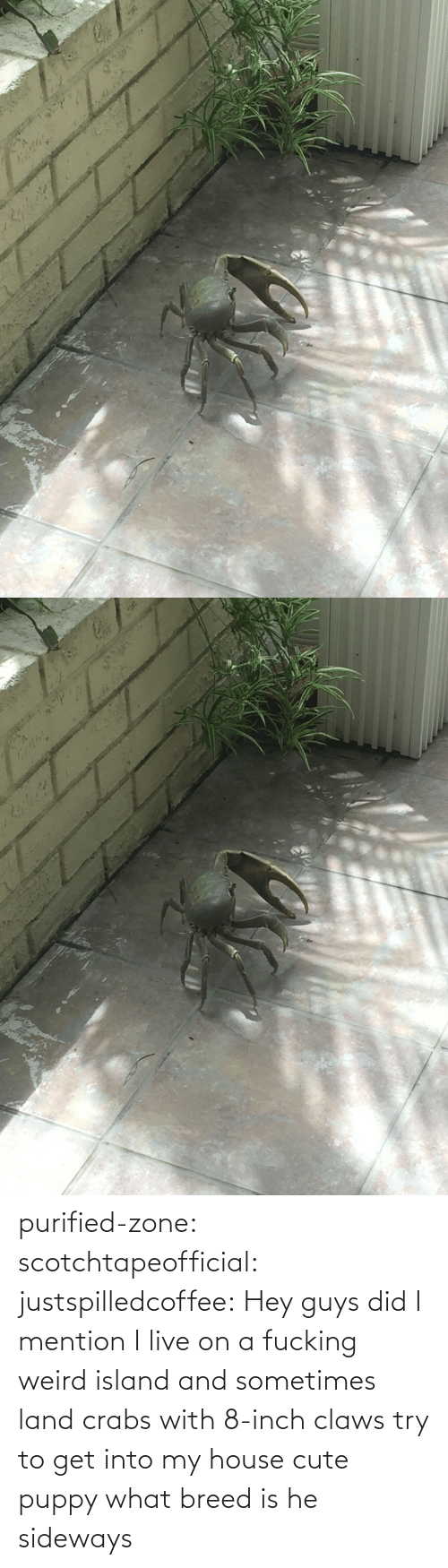 island: purified-zone: scotchtapeofficial:  justspilledcoffee:  Hey guys did I mention I live on a fucking weird island and sometimes land crabs with 8-inch claws try to get into my house  cute puppy what breed is he  sideways