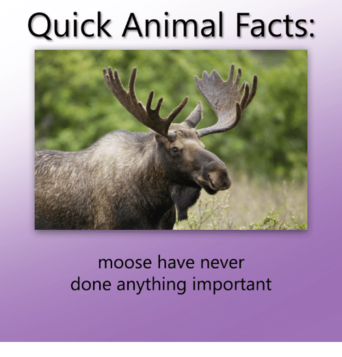 Dank, Facts, and Animal: Quick Animal Facts:  moose have never  done anything important