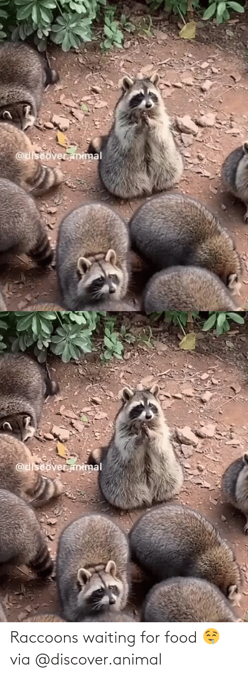 Waiting For: Raccoons waiting for food 🤤via @discover.animal