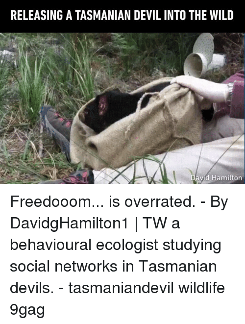 networks: RELEASING A TASMANIAN DEVIL INTO THE WILD  avid Hamilton Freedooom... is overrated. - By DavidgHamilton1   TW a behavioural ecologist studying social networks in Tasmanian devils. - tasmaniandevil wildlife 9gag