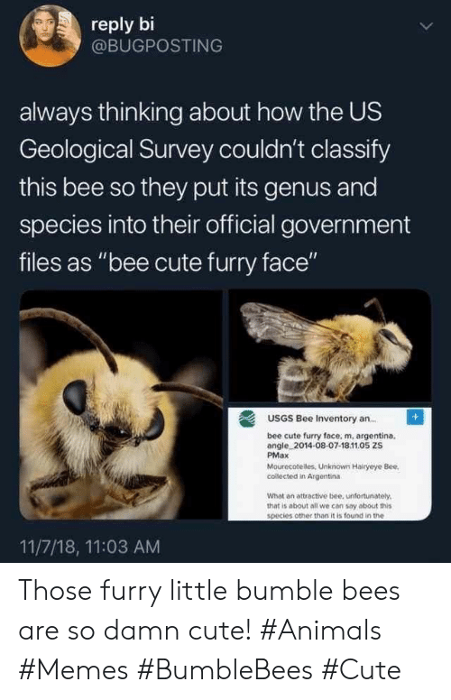 "Animals Memes: reply bi  @BUGPOSTING  always thinking about how the US  Geological Survey couldn't classify  this bee so they put its genus and  species into their official government  files as ""bee cute furry face""  USGS Bee Inventory an..  bee cute furry face, m, argentina.  angle 2014-08-07-18.11.05 ZS  PMax  Mourecotelles, Unknown Hairyeye Bee  collected in Argentina  What an attractive bee, unfortunately.  that is about all we con say about this  species other than it is found in the  11/7/18, 11:03 AM Those furry little bumble bees are so damn cute! #Animals #Memes #BumbleBees #Cute"
