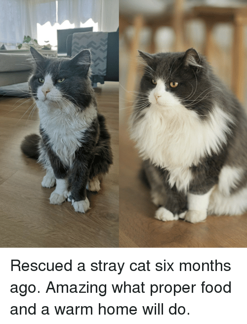 Food, Home, and Amazing: Rescued a stray cat six months ago. Amazing what proper food and a warm home will do.