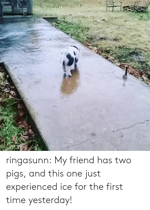 Target, Tumblr, and Blog: ringasunn: My friend has two pigs, and this one just experienced ice for the first time yesterday!