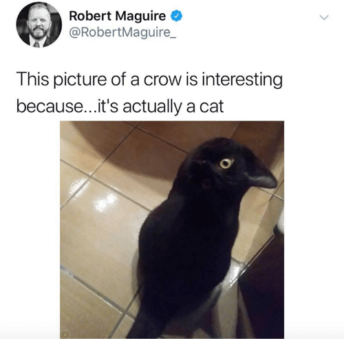 Cat, Crow, and Picture: Robert Maguire  @RobertMaguire_  This picture of a crow is interesting  because... it's actually a cat